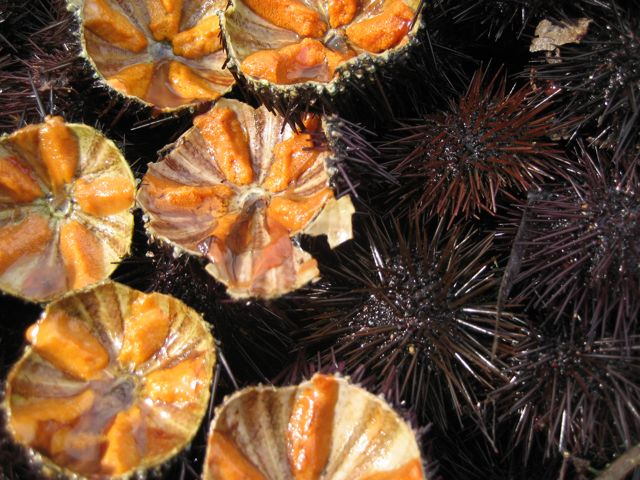 sea urchins in bari (with video)