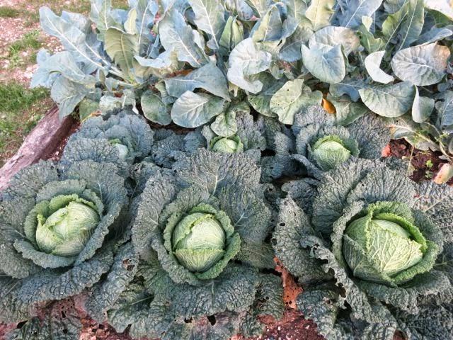 cabbage {roasted} - Elizabeth Minchilli