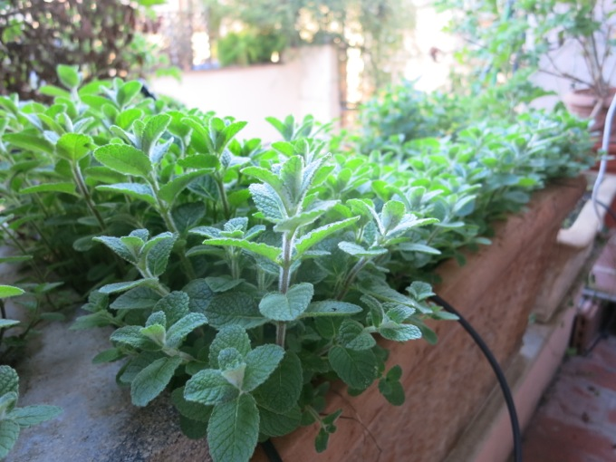 Mint for Pasta with Artichokes, peas and mint - 10
