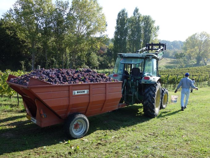 Grape Harvest and Goose Ragu