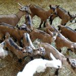feeding baby goats {umbria}