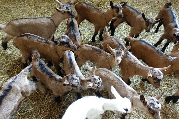 Baby Goats Elizabeth MInchilli