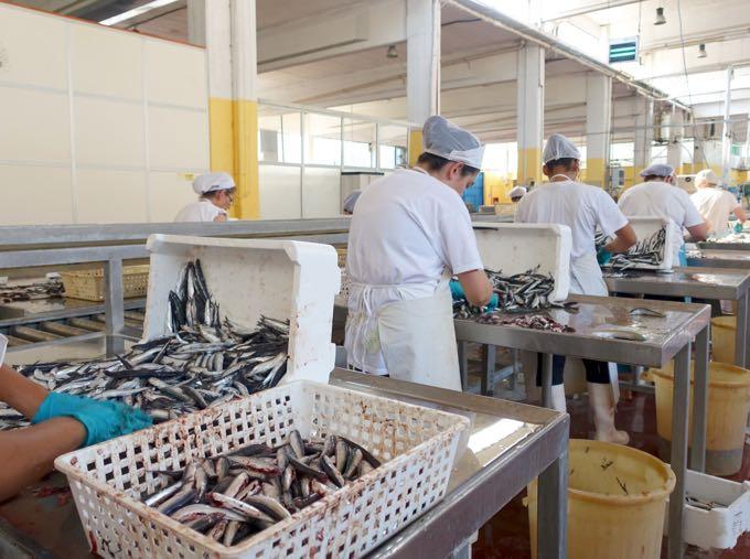 Anchovy Processing Salerno Elizabeth MInchilli In Rome