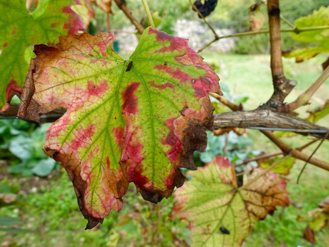 Grape Leaf, Elizabeth Minchilli