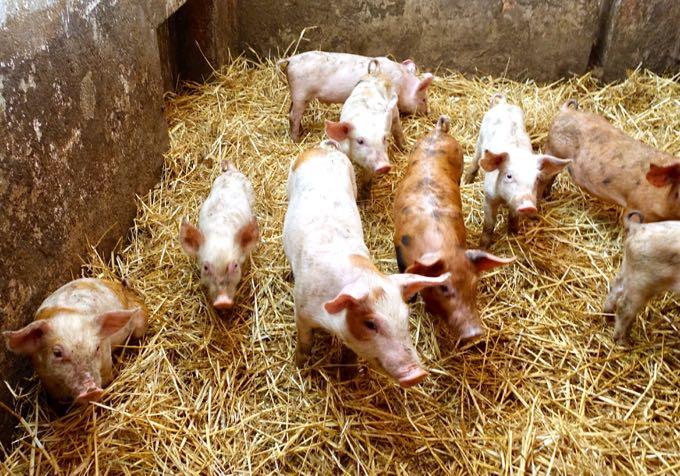 Pigs, Angelucci Agriturismo, Umbria Elizabeth Minchilli Agriturismo, Umbria