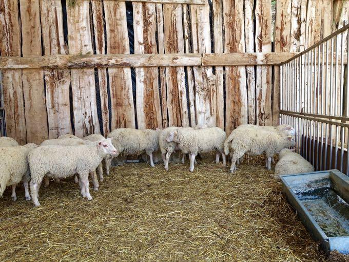 Sheep, Angelucci Agriturismo, Umbria Elizabeth Minchilli