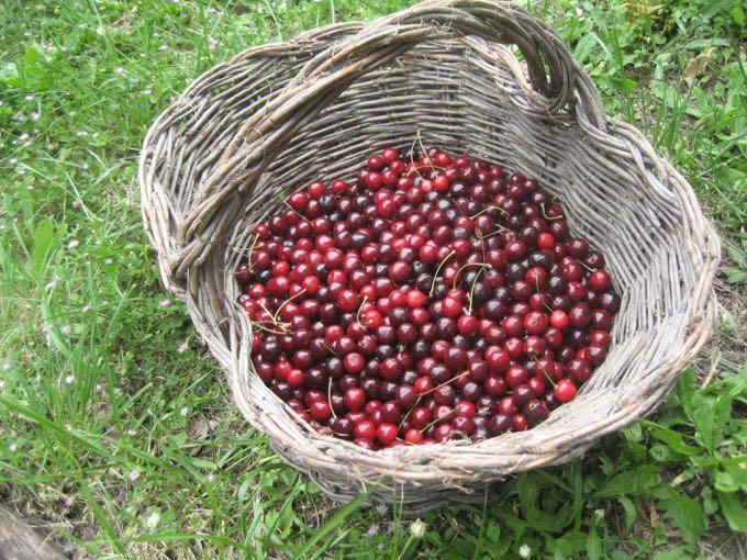 Cherries in Basket - 1